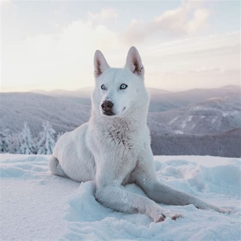 magnificent facts  siberian huskies page