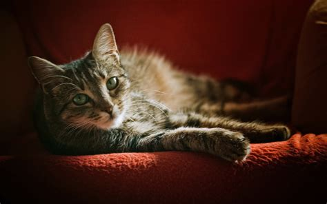Cat, Armchairs, Animals Wallpapers Hd / Desktop And Mobile