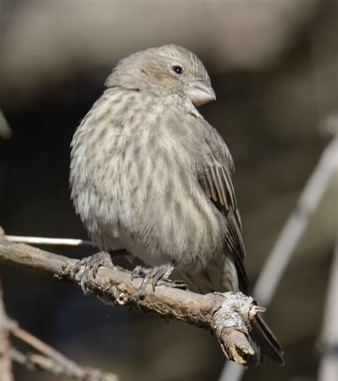 top 28 what does a finch look like bird meaning of
