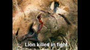 Lion vs Tiger: The Supreme Boxer Series -The Truth Part 1 ...