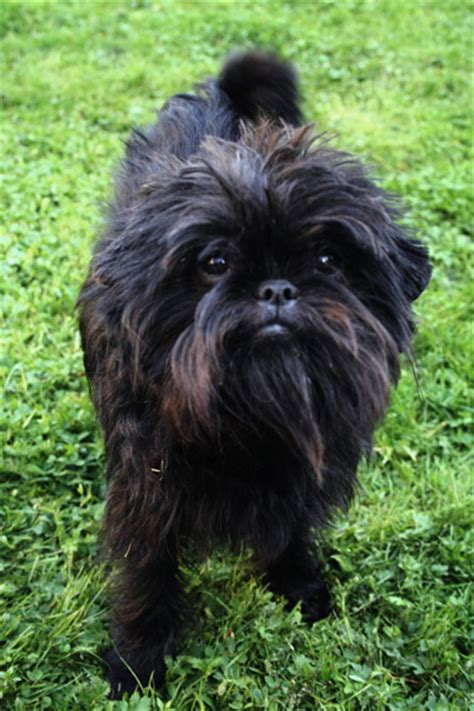 Affenpinscher Simple English The Free