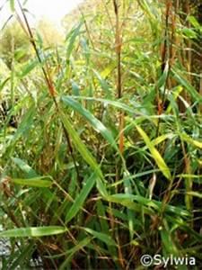 Bambus In Kübeln : fargesia scabrida ~ Michelbontemps.com Haus und Dekorationen