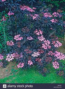 Holunder Black Beauty : sambucus nigra black lace stockfotos sambucus nigra black lace bilder alamy ~ Frokenaadalensverden.com Haus und Dekorationen