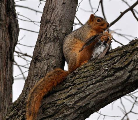 squirrel eats bird