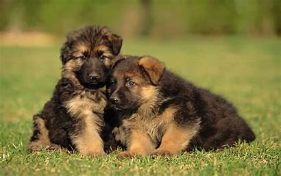 Shepherd German Puppies Adorable Christmas Dog Definition