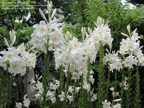 white garden flowers madonna lilium candidum yards lilium