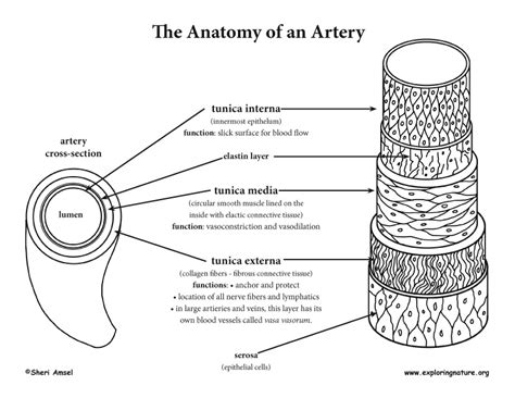For example, new capillaries permeate the muscles of a. Blood Vessel Anatomy (Advanced*)
