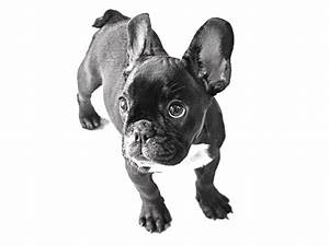 French Bulldog Puppy | cute puppy pictures | cute dogs ...