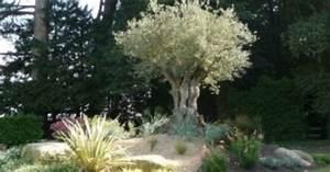 decoration jardin avec un olivier barbecue terrasse With idee deco de jardin exterieur 4 plantes exotiques pour jardin et terrasse en vente chez