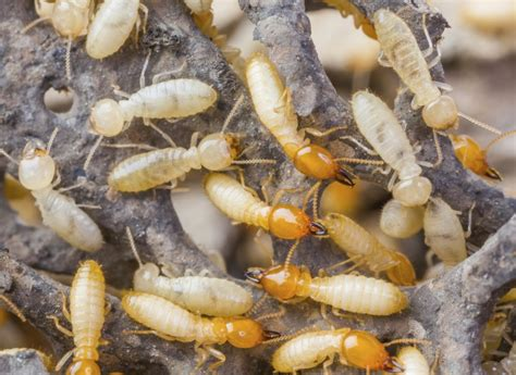 The Essential Guide To Termites  Debugged. Wooden Kitchen Floor. Best Way To Clean Kitchen Floor Tile Grout. Backsplash Tile Kitchen. Kitchen Cabinet Wood Colors. Pictures Of Kitchen Countertops And Backsplashes. Different Materials For Kitchen Countertops. Painted Kitchen Cabinet Colors. Kitchen Floor Designs