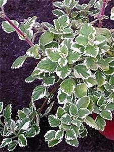 Weihrauch Pflanze Winterhart : pflanzen exkurs friedhofsg rtnerei kassel ~ Lizthompson.info Haus und Dekorationen