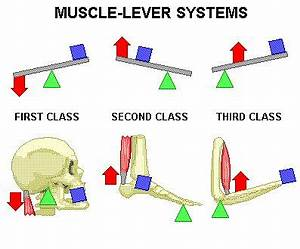 third class lever in the body - Google Search   A Pass In ...