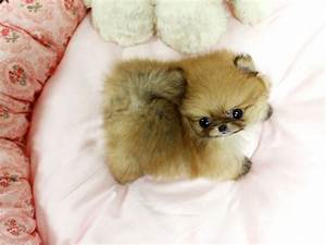Teacup Pomeranian on Pinterest | Pomeranian Puppy ...
