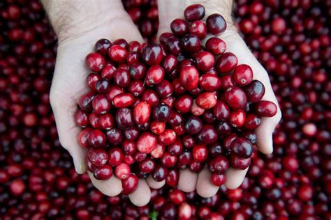 how to cranberries the cure for utis it s not cranberries the new york times