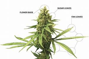 Breaking Down The Anatomy Of A Marijuana Plant