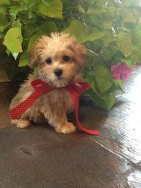 Do Bichon Yorkies Shed by 1000 Images About Stella S Family On Sheds