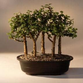 baby jade bonsai tree  tree forest group portulacaria