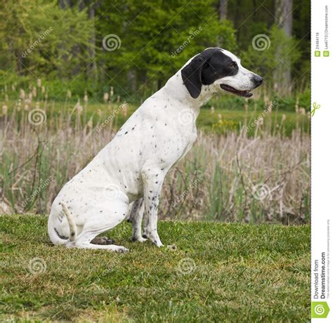 black  white pointer dog stock photo image  field