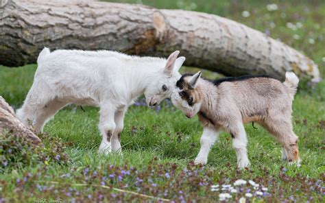 Baby Farm Animals Wallpaper - animals nature goats baby animals wallpapers hd