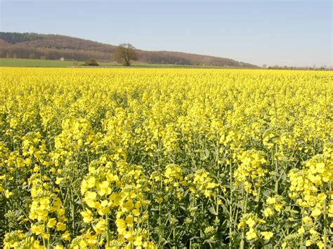 Nature Flowers Fields Yellow Field Yellow Flowers