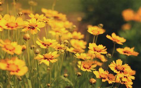 yellow flowers beautiful - HD Desktop Wallpapers | 4k HD