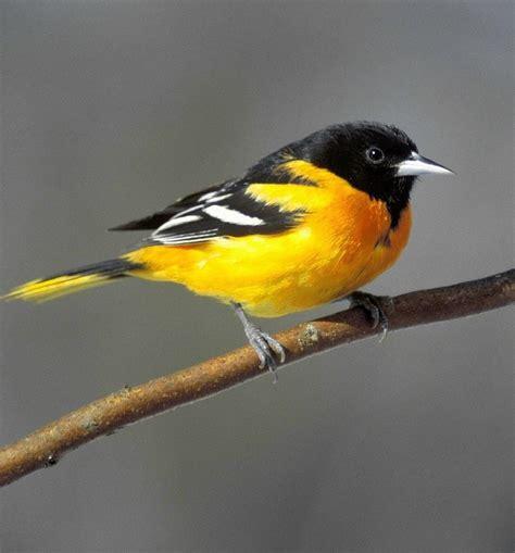 bird sounds  songs   baltimore oriole
