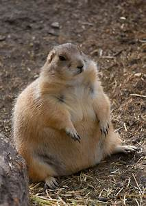 Hahaha fat prairie dog | Just a Little Fat. | Pinterest ...