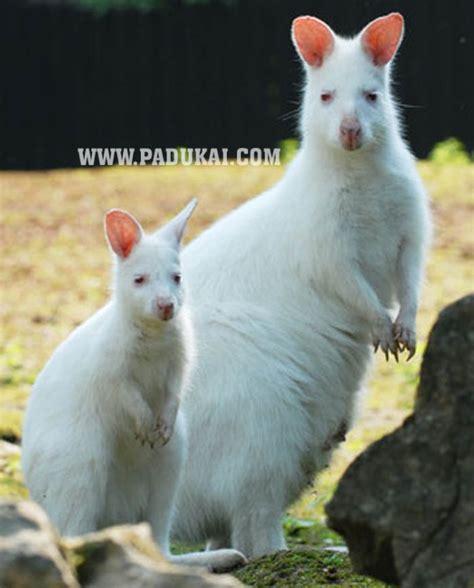 win min white kangaroos white baby kangaroos