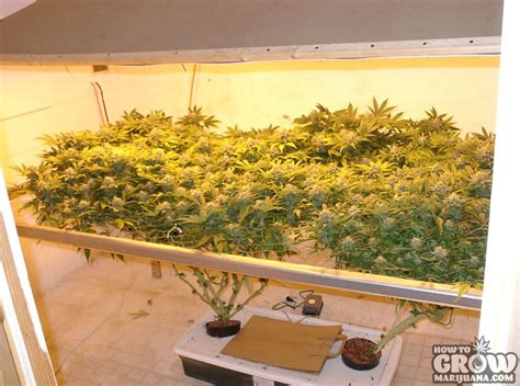 grow ls for weed how to grow marijuana indoors