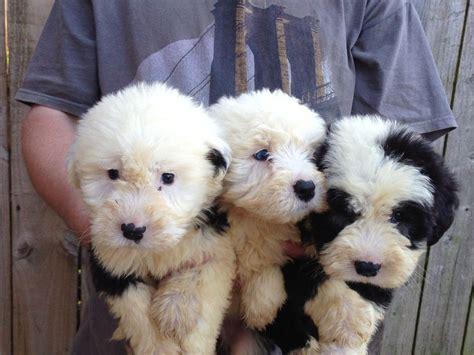non shed dogs large 18 non shed dogs large sheepdog pups