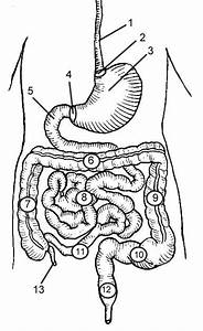 Digestive System Diagram Study Guide For Kids