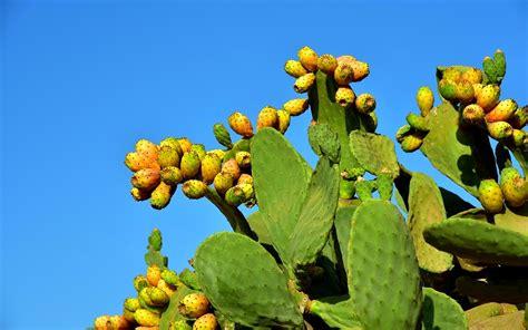 Indijska smokva je voćka meksičkog kaktusa - Aviatica