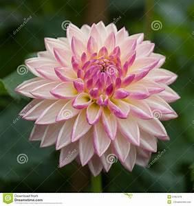 Fleur Rose Et Blanche : fleur rose et blanche de dahlia image stock image du rose fleurs 51857279 ~ Dallasstarsshop.com Idées de Décoration