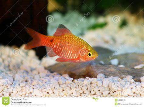 poissons tropicaux d eau douce d aquarium de conchonius de rosy barb pethia photo stock image