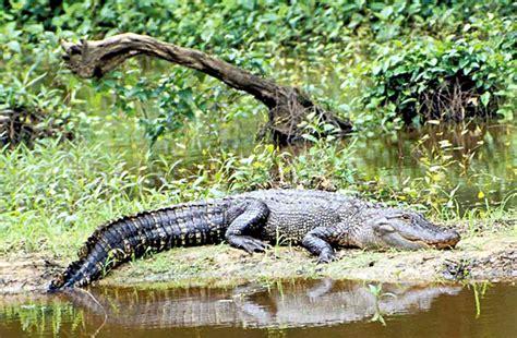 Alligator — Texas Parks & Wildlife Department