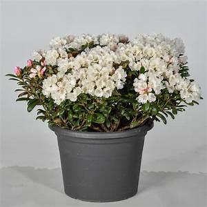 Kleinwüchsige Immergrüne Hecke : rhododendron schneekissen rhododendron yakushimanum ~ Lizthompson.info Haus und Dekorationen