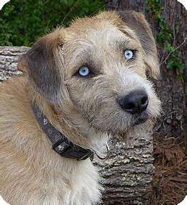 Aztek | Adopted Dog | Mocksville, NC | Border Terrier ...