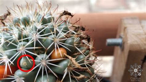 EP.3 - แคคตัส Mammillaria schumannii - สวนลูกบัว   Suan Luk Bua
