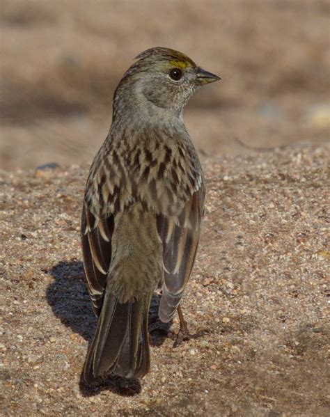 Golden Crowned Sparrow San Diego Bird Spot
