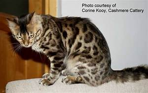 The gallery for --> Ocelot Cat Mix