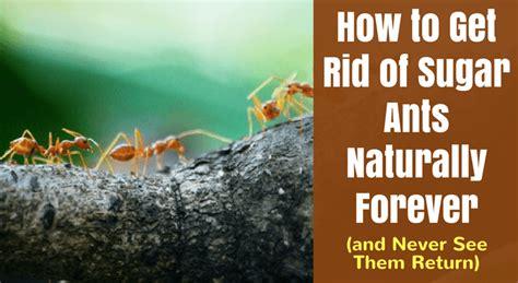 rid  sugar ants naturally