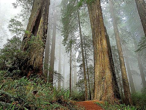 Redwood California Forest