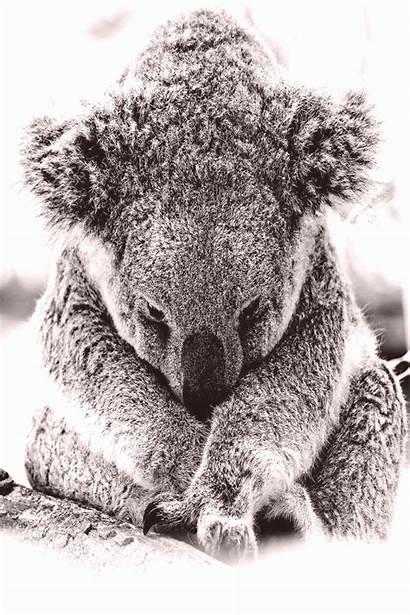 Koala Animals Best10en Captions Funny
