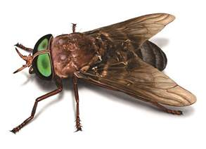 What Do Horse Flies Look Like