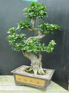 Bonsai Ficus Ginseng : ficus ginseng pictures bonsai ginseng ~ Buech-reservation.com Haus und Dekorationen