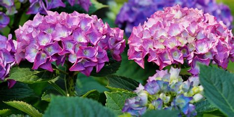 what is a hydrangea flower history and meaning of hydrangeas proflowers blog