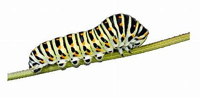 Caterpillar Transparent Larva Butterfly Clipart Cartoon Clip