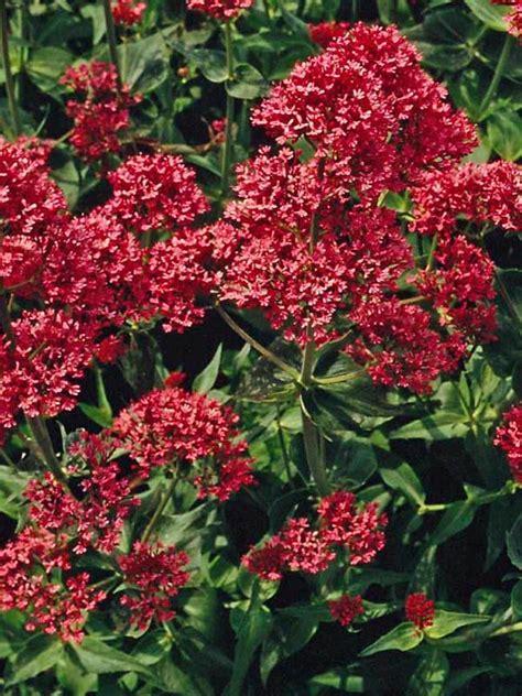 Centranthus Ruber -- Bluestone Perennials