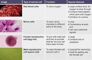 Table Comparing Function And Features Of Red Blood Cells  Nerve Cells  And Female And Male
