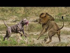 Pit Bull vs Lion - FACTS - YouTube